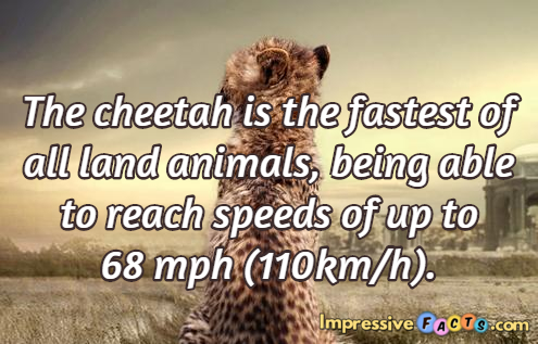 The cheetah is the fastest of all land animals, being able to reach speeds of up to 68 mph (110km/h).