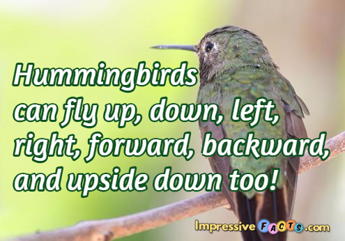 Hummingbirds can fly up, down, left, right, forward, backward, and upside down too!