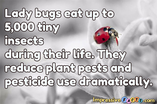 Lady bugs eat up to 5,000 tiny insects during their life.