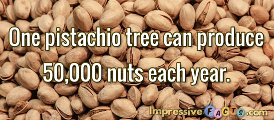 One pistachio tree can produce 50,000 nuts each year.