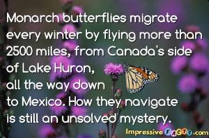 Monarch butterflies migrate every winter by flying more than 2500 miles, from Canada's side of Lake Huron, all the way down to Mexico.