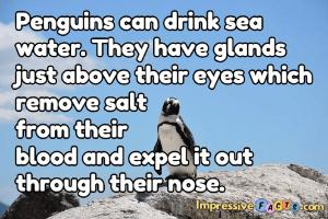Penguins can drink sea water.